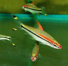 Barbus denisonii - Denison barb, red-line torpedo barb, or roseline shark, India