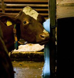thesis on animal farm