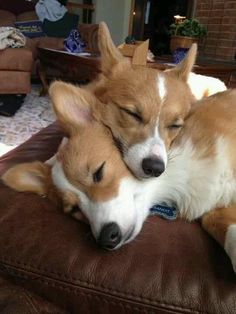 Corgi Puppy love