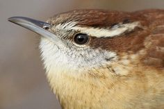 http://10000birds.com/carolina-wren-at-van-saun-park.htm