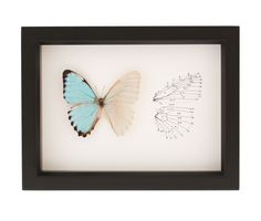 This framed butterfly display features a half descaled blue morpho butterfly with an archival print of a butterfly wing anatomy.