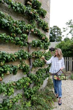 espalier fruit tree min [Beautiful tree, nice outdoor design, outdoor inspiration design ] - 12 Easy, Practical, and Affordable Ideas for that Perfect Backyard Makeover Fruit Garden, Edible Garden, Apple Garden, Potager Garden, Garden Landscaping, Landscaping Software, Landscaping Ideas, Espalier Fruit Trees, Dwarf Fruit Trees