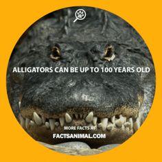 Alligator-age