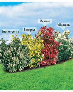 Persistent Hedge Collection 4 Sträucher 3 m lineare Hecke Back Gardens, Small Gardens, Outdoor Gardens, Small Garden Shrubs, Evergreen Shrubs, Trees And Shrubs, Garden Pots, Vegetable Garden, Flower Garden Layouts