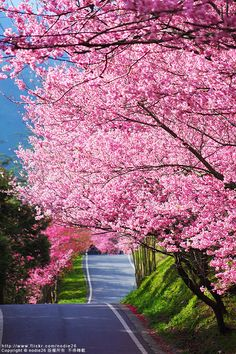 pink spring tree blossoms.  I would enjoy a drive down this road in a convertable, or maybe on a motorcycle....
