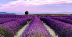 Essential Oils are an ancient form of healing that cleanse and rejuvenate and are safe, natural and healthy. Young Living Essential Oils are some of the finest quality available today, securing the… Lavender Fields, Lavender Flowers, Lavander, Lavender Tea, Lavender Essential Oil Uses, Mayfield Lavender, Growing Lavender, Young Living Essential Oils, 1 Oz