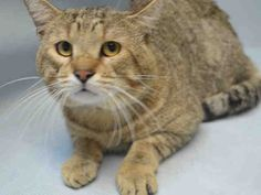 """CHINA - A1092738 - - Brooklyn   *** TO BE DESTROYED 10/21/16 *** SHY, SWEET GUY ABANDONED IN BUILDING!!….CHINA is a three year old tabby left behind….AVERAGE rated, he is calm and relaxed and should be given a chance in the ACC adoptions room. But alas, the ACC gave him a cold instead and now they will kill this young tabby at NOON tomorrow if no one offers to be his hero!!….""""He is sweet, solicits attention and occasionally lip licks but appreciates"""