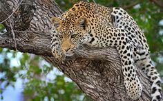 Big cats Leopards Trunk tree Animals