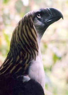 The Fabio of all eagles! HahaThe Great Philippine Eagle - One of the Largest and Most Powerful Birds in the World - Kinds Of Birds, All Birds, Birds Of Prey, Love Birds, Pretty Birds, Beautiful Birds, Animals Beautiful, Cute Animals, Photo Aigle