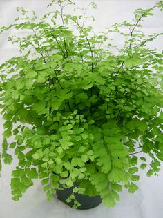 CAPILLAIRE DU CANADA (Pteridaceae Adiantum Pedatum) : Fougère à rhizomes, 15 à 70 cm, pousse à l'ombre, en sol riche, drainé, toujours frais, légèrement acide. La pousse est lente les deux premières années.