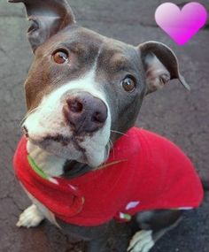 Manhattan Center JOSIE – A1062600  FEMALE, GRAY / WHITE, PIT BULL MIX, 2 yrs STRAY – ONHOLDHERE, HOLD FOR EVICTION Reason OWN EVICT Intake condition UNSPECIFIE Intake Date 01/09/2016 http://nycdogs.urgentpodr.org/josie-a1062600/