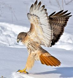 Adult Red-tailed Hawk (Buteo jamaicensis) by Jim Ridley