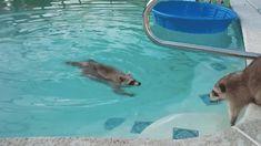 Y después intentaron (sin éxito) pasar una tarde de relajación en la piscina.   Los 21 mapaches más importantes de 2015