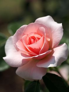 It's a Wonderful Wednesday! Beautiful Rose Flowers, Pretty Roses, Beautiful Flowers, Rose Pictures, Flower Photos, Pink Roses, Pink Flowers, Foto Rose, Rose Reference