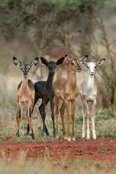 Antelope of every color.