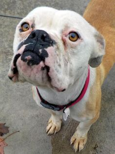 "MAMMAS ""13 Mammas"" - URGENT - Stark County Dog Warden in Canyon, Ohio - ADOPT OR FOSTER - Young Female Am. Bulldog - Available January 3, 2017"