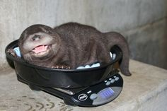 Smiling baby otter getting weighed