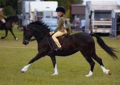 Collenna Nightingale - Section C mare (Welsh pony of cob type)   I love this picture!