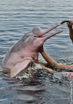 Red Dolphin, the pink dolphin - Boto-vermelho, Boto Cor de Rosa (Inia geoffrensis)
