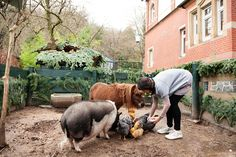 Chickens, miniature horse and pot belly pig, all living together