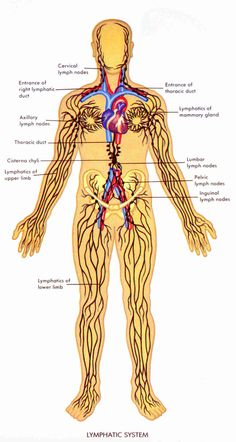 Lymphatic System Medical Terminology <3