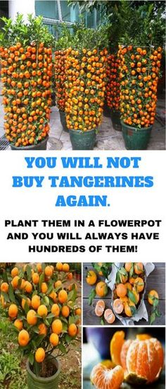 You Will Not Buy Tangerines Again, You can always have them in plenty by just planting them in a flower pot.