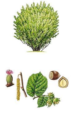 Noisetier Autumn Activities For Kids, Nature Activities, Science For Kids, Illustration Botanique, Tree Illustration, Birthday Tree, Teaching Plants, Plantation, Botanical Art