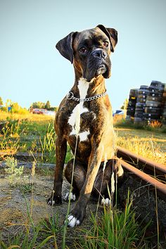 Boxer Dogs My Brutus - We found these abandoned railroad tracks in Snohomish and decided to see if I could get some cute portraits of him. He did so good again off his leash! Boxer And Baby, Boxer Love, Boxer Puppies, Dogs And Puppies, Doggies, Chihuahua Dogs, Boxer Americano, Boxers, Training Your Dog