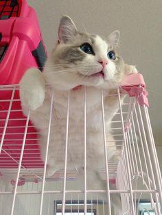 モモンガに擬態する猫wwwwwww