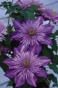 "New Varieties 2016 ""Chrystal Fountain Lilac Blue"""