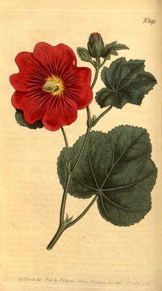 """Hollyhock"" ~ Plate 892 from Curtis's botanical magazine (V. 23-24, 1806)"