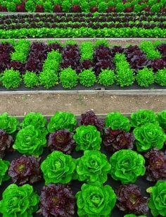 Examples of lettuce garden design -- edible and pretty