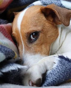 Jack Russell Terrier - A Dog in One Pack - Champion Dogs Chien Jack Russel, Jack Russell Puppies, Jack Russell Terrier, Jack Russell Mix, Cute Puppies, Cute Dogs, Dogs And Puppies, Chihuahua Dogs, Doggies