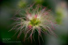 合歓の木 (Aki / Amagasaki / Japan) #ILCE-7 #macro #photo #insect #nature