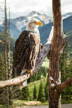 Bald Eagle with Ouray, Colorado in the background by Peter Hernandez                Travel Gurus - Follow for more Nature Photographies!