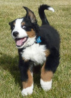 """Oh how I love the """"crazy eye"""" looks a Berner can give!!  Hank the Bernese Mountain Dog"""