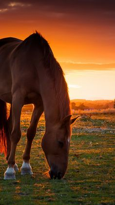 horse, field, pasture, sunset
