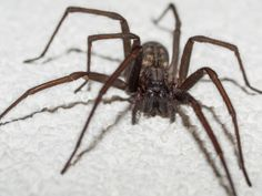 Keep your home spider-free by putting out whole walnuts in their shell in corners, on windowsills, or wherever you tend to see the creepy crawlers. Walnut shells contain a chemical toxic to spiders, so they'll steer clear of them. Cleaning Solutions, Cleaning Hacks, Cleaning Products, Get Rid Of Spiders, Bug Off, Walnut Shell, Tip Of The Day, Insect Repellent, See On Tv