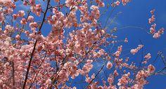 Virágzik a mandulafa!/Almond tree in blossom! #mallorca #nature #almondtree #travel #holiday
