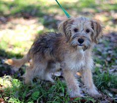 Wheaten Terrier Mix, Puppy Love, Puppies, Schnauzers, Pets, Favorite Things, Animals, Future, Friends