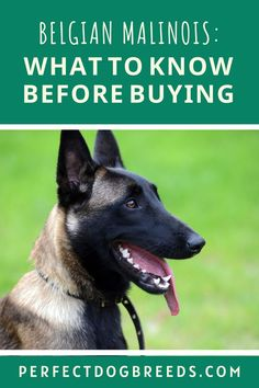 Perfect Dog Breeds has compiled a comprehensive guide about Belgian Malinois which includes everything you need to know about this particular breed of dog, even how to pronounce their name! Find out about their personality, their strengths and weaknesses, why you would want to have this type of dog. Find out how big they will get and their coloring. You probably want to know their temperament to determine if they are suited for a family. Read more… #belgianmalinois #dogtraining #dogbreed Malinois Dog, Belgian Malinois, Large Dog Breeds, Large Dogs, Dog Breed Names, Most Popular Dog Breeds, Eyes Problems, Herding Dogs, Medium Sized Dogs