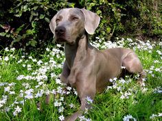 among the flowers ( #weimareiner #dogs ) ✌eace | H U M A N™ | нυмanACOUSTICS™ | н2TV™