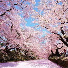 Hirosaki Sakura Festival 弘前桜祭り