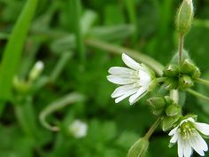 chickweed - the whole plant is edible. Add to salads! Eat the sprout, it's highly nutritious and tastes great!!