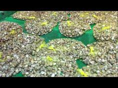 Polish Snail Holding: TOWAROWA HODOWLA ŚLIMAKÓW- ŚLIMAKA : suszenie - YouTube