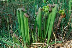 """Sarracenia minor also known as """"Hooded Pitcher Plant"""""""