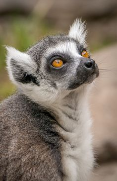 Up-close and personal with the Safari Park's Lemur Walk residents.