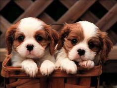 The Cavalier King Charles Spaniel... the dog of royalty!!