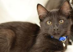 Toe is an adoptable Extra-Toes Cat (Hemingway Polydactyl) Cat in Cumming, GA. Hi there! My name is Toe, a striking baby all black long hair hemingway (extra toes) born around 4/27/2012. Currently I li...