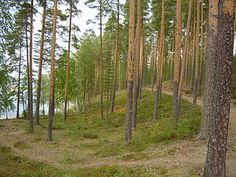 Mänty – Wikipedia
